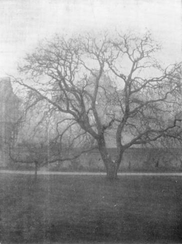 Photo of old walnut tree